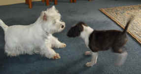 Juno playing with Van's westies